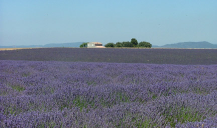 Lavender Fields in Utah